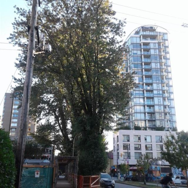 Tree at risk at 1188 Bidwell Reliance, Aug 2017