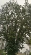 Bidwell Davie trees, Reliance Project, 5-Sep-2017 (1)